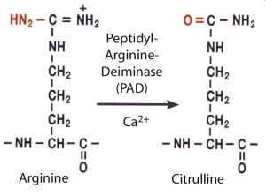 PAD converts arginine to citrulline in the inflamed synovium
